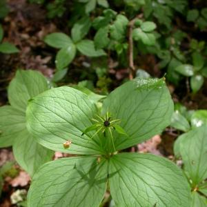 Photographie n°10832 du taxon Paris quadrifolia L. [1753]