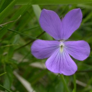 Photographie n°10853 du taxon Viola cornuta L. [1763]