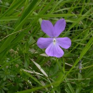 Photographie n°10854 du taxon Viola cornuta L. [1763]