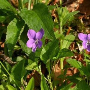 Photographie n°10860 du taxon Viola riviniana Rchb.