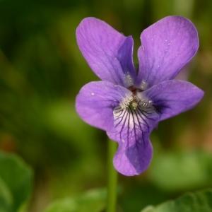 Photographie n°10861 du taxon Viola riviniana Rchb.