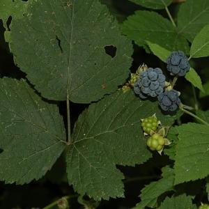 Photographie n°11163 du taxon Rubus caesius L. [1753]