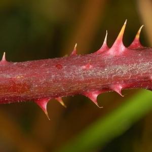 Photographie n°11164 du taxon Rubus caflischii