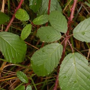 Photographie n°11165 du taxon Rubus caflischii