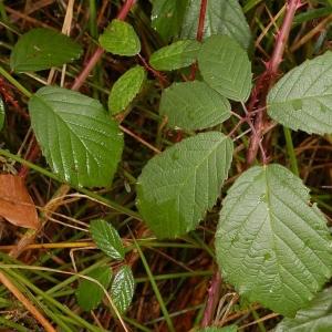 Photographie n°11166 du taxon Rubus caflischii