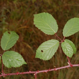 Photographie n°11167 du taxon Rubus caflischii
