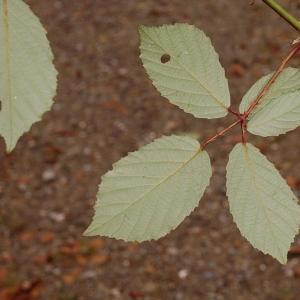 Photographie n°11168 du taxon Rubus caflischii