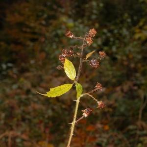 Photographie n°11169 du taxon Rubus caflischii