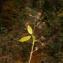 David Mercier - Rubus caflischii