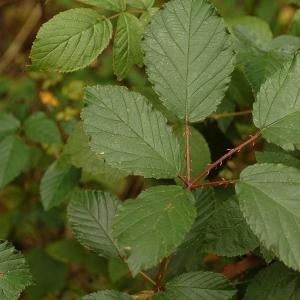 Rubus divaricatus P.J.Müll. (Ronce divariquée)