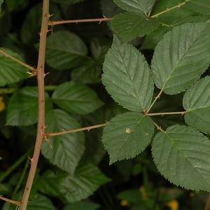 Rubus plicatus Weihe & Nees