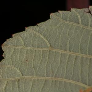 Photographie n°11600 du taxon Rubus ulmifolius Schott [1818]