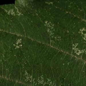 Photographie n°11605 du taxon Rubus ulmifolius Schott [1818]
