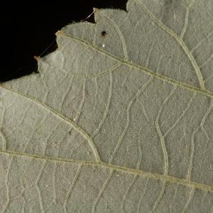 Photographie n°11606 du taxon Rubus ulmifolius Schott [1818]