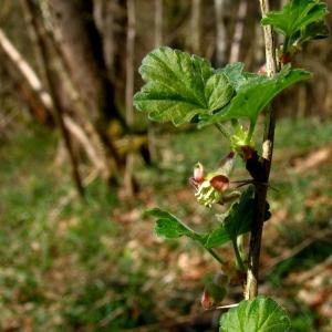 Photographie n°11852 du taxon Ribes uva-crispa L. [1753]