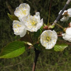 Photographie n°11856 du taxon Prunus avium (L.) L. [1755]