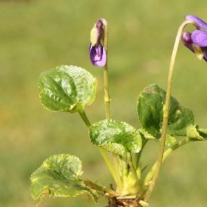 Photographie n°11866 du taxon Viola odorata L.