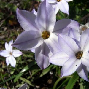Photographie n°11876 du taxon Triteleia uniflora Lindl.