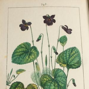 Photographie n°11886 du taxon Viola odorata L.
