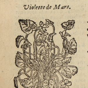 Photographie n°11887 du taxon Viola odorata L.