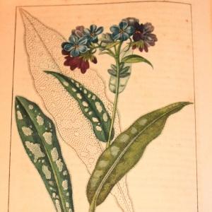 Photographie n°11904 du taxon Pulmonaria obscura Dumort. [1865]