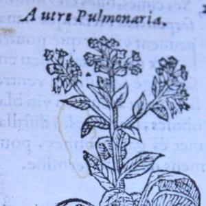 Photographie n°11905 du taxon Pulmonaria obscura Dumort. [1865]
