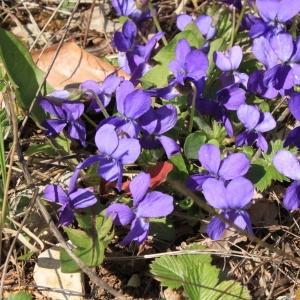 Photographie n°11910 du taxon Viola odorata L.