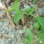 - Aristolochia rotunda L. [1753]