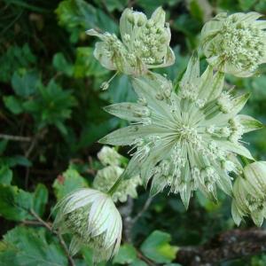 - Astrantia major subsp. involucrata (W.D.J.Koch) Ces. [1844]