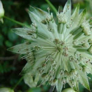 Photographie n°11974 du taxon Astrantia major subsp. involucrata (W.D.J.Koch) Ces. [1844]