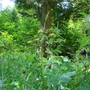 Photographie n°12062 du taxon Carex sylvatica Huds.