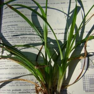 Photographie n°12065 du taxon Carex sylvatica Huds.