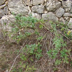 Photographie n°12098 du taxon Centranthus ruber (L.) DC.