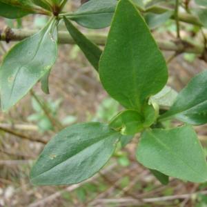 Photographie n°12100 du taxon Centranthus ruber (L.) DC.