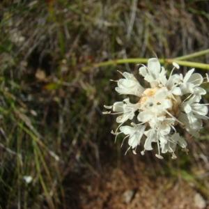 Photographie n°12108 du taxon Cephalaria leucantha (L.) Schrad. ex Roem. & Schult.