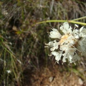 Photographie n°12109 du taxon Cephalaria leucantha (L.) Schrad. ex Roem. & Schult.