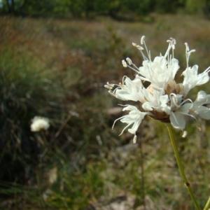 Photographie n°12111 du taxon Cephalaria leucantha (L.) Schrad. ex Roem. & Schult.