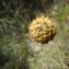 - Cephalaria leucantha (L.) Schrad. ex Roem. & Schult.