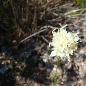 Photographie n°12115 du taxon Cephalaria leucantha (L.) Schrad. ex Roem. & Schult.