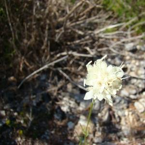 Photographie n°12116 du taxon Cephalaria leucantha (L.) Schrad. ex Roem. & Schult.