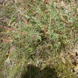 Photographie n°12174 du taxon Coronilla minima L. [1756]