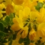 - Coronilla valentina subsp. glauca (L.) Batt. [1889]