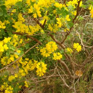 Photographie n°12185 du taxon Coronilla valentina subsp. glauca (L.) Batt. [1889]