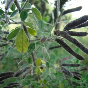 Cytisus villosus (image CeL)