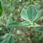 - Cytisus villosus Pourr. [1788]
