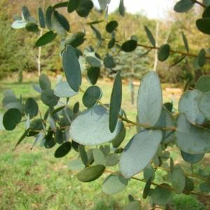 Photographie n°12279 du taxon Eucalyptus gunnii