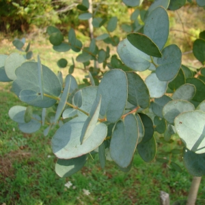 Photographie n°12280 du taxon Eucalyptus gunnii