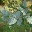 - Eucalyptus gunnii
