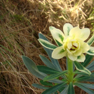 Photographie n°12293 du taxon Euphorbia characias L. [1753]
