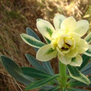 Photographie n°12295 du taxon Euphorbia characias L. [1753]